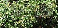 Gevuina avellana, China hazelnut, Guevin, massed developing fruit