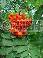 Sorbus aucuparia, Rowan, Mountain Ash - autumn berries