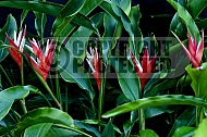 Heliconia angustifolia Red Christmas