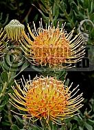 Leucospermum Rosella