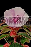 Tibouchina organensis - pink flowered variety