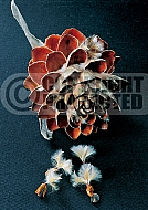 Leucadendron argenteum, Cape Silver Tree - open seed one with dispersing seeds