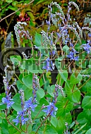Parahebe perfoliata, Diggers speedwell