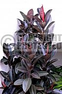 Ficus elastica 'Black Knight'