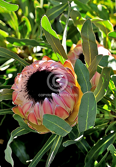 Protea Possum Magic (P. magnifica x P. longifolia),. P. Pinita