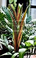 Pinanga coronata. Ivory cane palm.