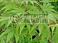 Acer palmatum 'Hoguku', Japanese maple variety.