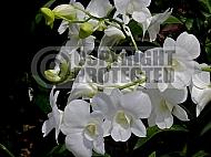Dendrobium 'Stefanie Sun'