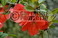 Chaenomeles 'Riccartonii', japonica, flowering quince