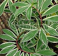 Costus speciosa variegatus, Cheilocostus speciosus, Spiral Ginger, variegated Crepe Ginger