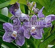 Vanda Overseas Union bank, Singapore orchid