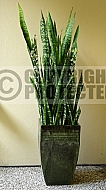 Sansevieria trifasciata, 'Mother-in-law's tongue', Snake plant