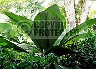 Johannesteijsmannia altifrons, Diamond Joey Palm, Daun Payung