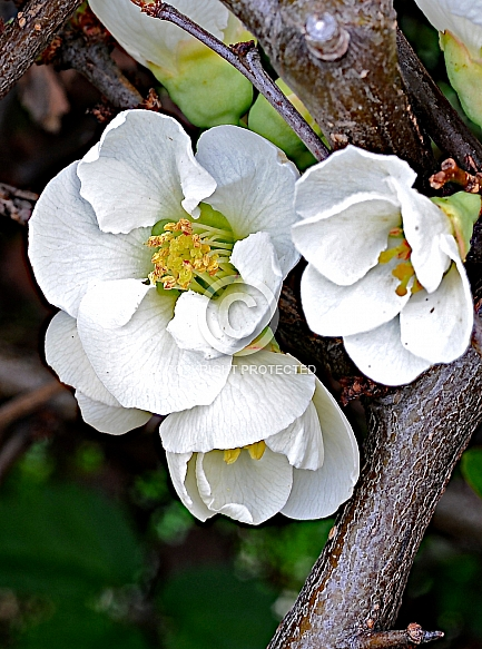 Chaenomeles 'Yokuku', Japonica, Flowering Quince