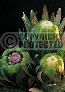 Protea coronata, syn. P. incompta, P. macrocephala,  Apple green protea