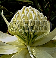 Telopea Bridal Gown - 'Shady Lady White' (improved) T. speciosissima x T. oreades)