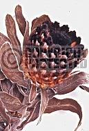 Protea holosericea, saw-edge sugarbush. Dried flowerhead