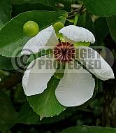 Dillenia phillippinensis, katmon