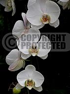 Phalaenopsis aphrodite 'Plantation', moth orchid