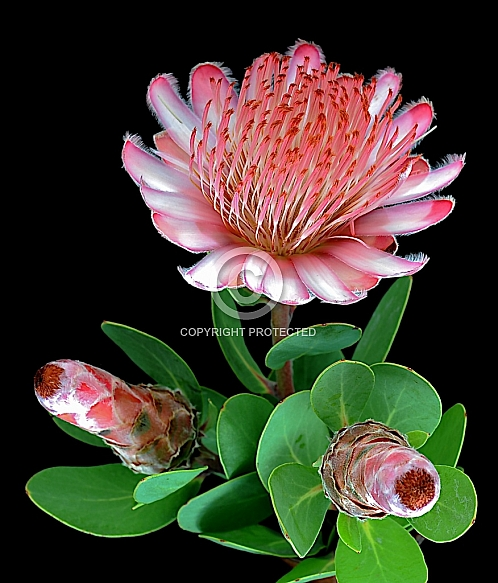 Protea punctata, water sugarbush
