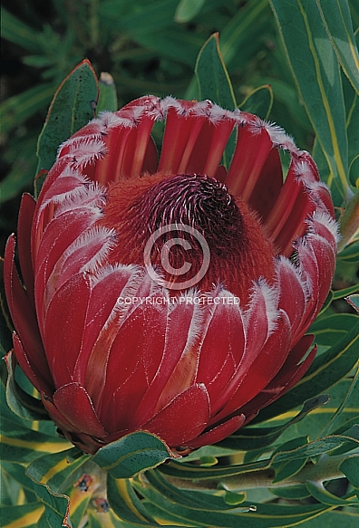 Protea Frosted Fire - a P. neriifolia hybrid