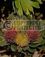 Leucospermum oleifolium, Overberg pincushion
