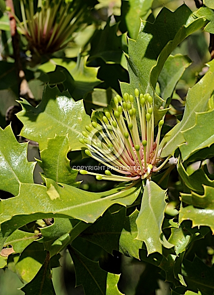 Banksia ilicifolia,  Holly-leaved banksia
