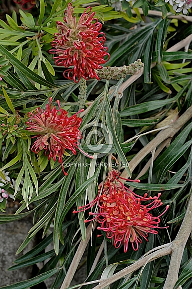 Grevillea banksii - prostrate red form