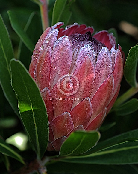 Protea Pink Ice (syn. Silvan Pink)