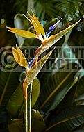 Strelitzia reginae ('Bird of Paradise')