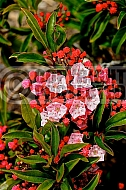 Kalmia latifolia 'Firrecracker', Calico bush