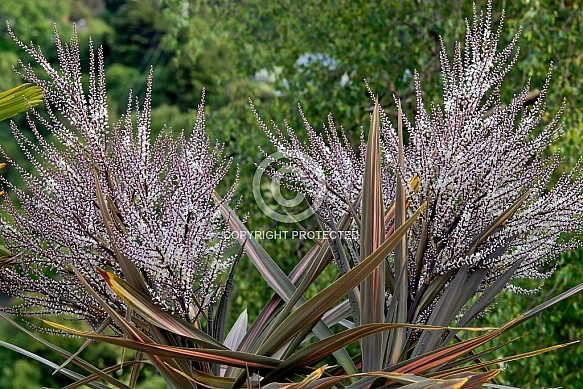 Cordyline australis, variegated New Zealand Cabbage Tree