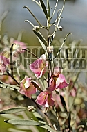 Eremophila platycalyx, Emu bush, Granite poverty bush