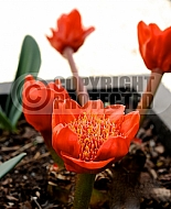 Haemanthus coccineus, Blood flower, blood lily or paintbrush lily