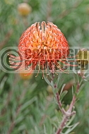 Leucospermum Blanch Ito, hybrid no 93,  Marketed in Australia as 'So Exquisite'
