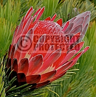 Protea aristata, Ladismith protea, small pine sugarbush, Ladismith sugarbush