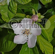Quince, Cydonia oblonga - flower and bud