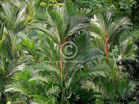 Cyrtostachys renda, Lipstick palm, Sealing-wax palm