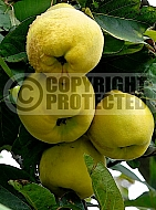 Quince Giant of Gascony (Cydonia oblonga)