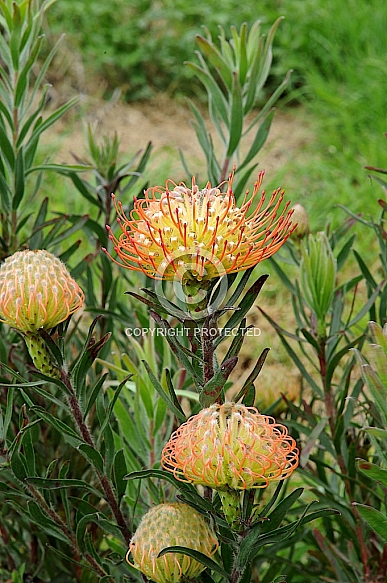Leucospermum Maureen (Hawaii University hybrid no. 234)