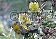 New Zealand Bellbird extracting nectar from a Banksia integrifolia flower