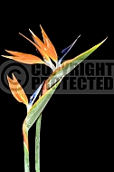 Strelitzia reginae (Bird of Paradise)
