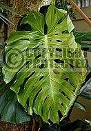 Monstera deliciosa, 'Fruit salad plant', 'Swiss Cheese Plant'  - young leaf unfurling