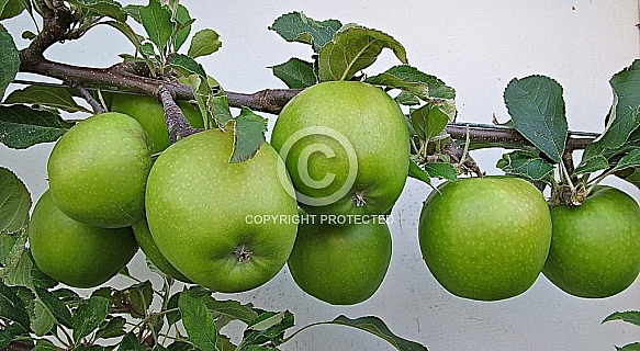 Apple Granny Smith - espaliered