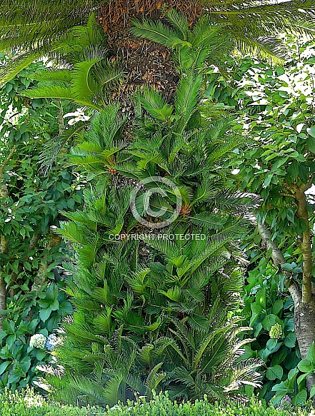 Cycas revoluta, Sago palm - A trunk of a mature plant with young offsets