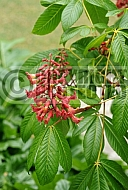 Aesculus pavia, Red Buckeye