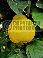 Quince Giant of Gascony, Cydonia oblonga